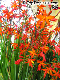 Crocosmia sp. - Coppertips Grass, Falling Stars  Click to see full-size image