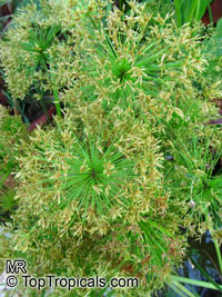 Cyperus sp., Flatsedge  Click to see full-size image