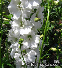 Delphinium sp., Larkspur, Knight's SpurClick to see full-size image
