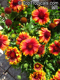 Gaillardia sp., Blanket Flower  Click to see full-size image