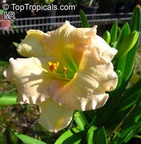 Hemerocallis sp., DaylilyClick to see full-size image