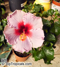 Hibiscus rosa-sinensis, Hibiscus, Chinese rose, Japanese rose, Tropical Hibiscus, Shoe Flower
