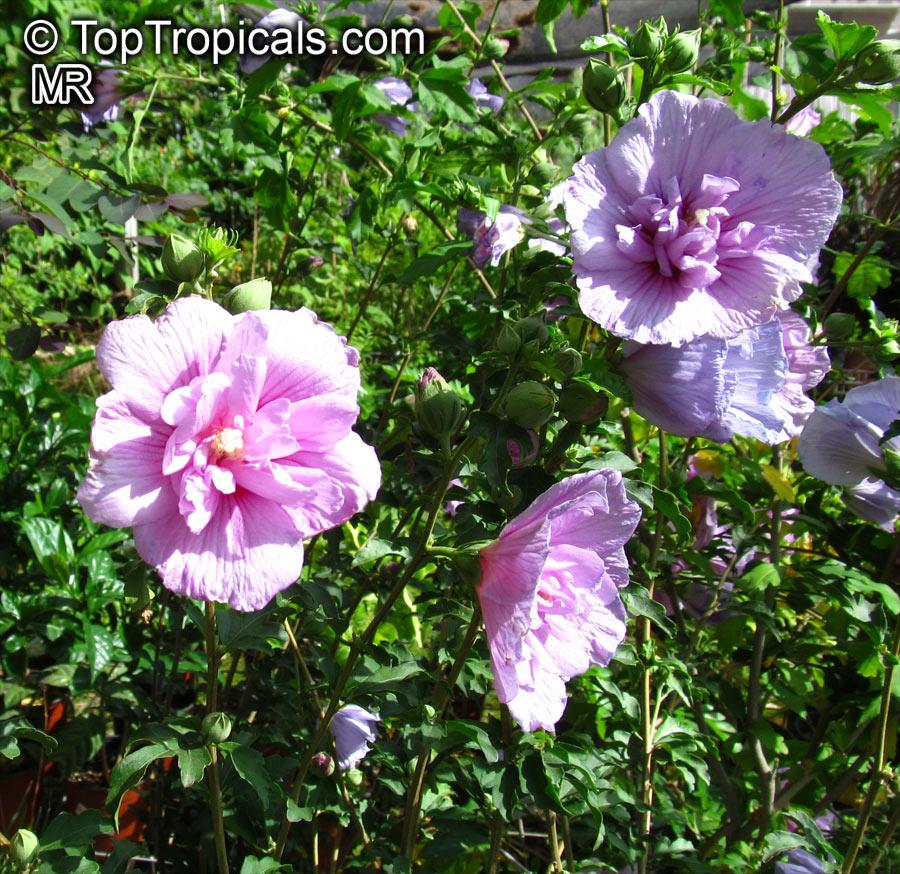 Hibiscus Syriacus Blue Hibiscus Rose Of Sharon