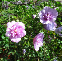 Hibiscus syriacus, Blue Hibiscus, Rose of Sharon