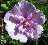 Hibiscus syriacus, Blue Hibiscus, Rose of Sharon  Click to see full-size image