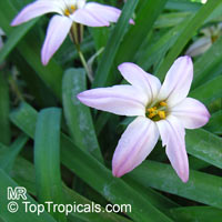 Ipheion uniflorum, Spring Star  Click to see full-size image