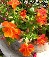 Mimulus x hybridus, Monkey FlowerClick to see full-size image