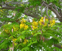Peltophorum africanum, African Wattle, Weeping Wattle