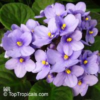 Saintpaulia ionantha, African violetClick to see full-size image