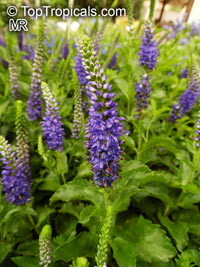 Veronica sp., SpeedwellClick to see full-size image