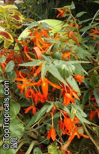 Begonia boliviensis, Bolivian BegoniaClick to see full-size image