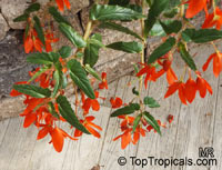 Begonia boliviensis, Bolivian Begonia  Click to see full-size image