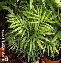 Chamaedorea elegans, Collinia elegans, Neanthe bella, Parlour Palm  Click to see full-size image
