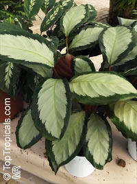 Calathea picturata, Calathea  Click to see full-size image