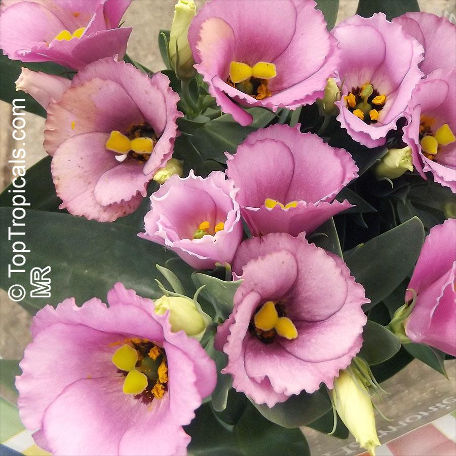 Eustoma Grandiflorum Lisianthus Russelianus Texas Bluebell Lisianthus Tulip Gentian Toptropicals Com