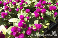 Gomphrena sp., Globe amaranth, Bachelor's buttons  Click to see full-size image