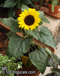 Helianthus annuus, Sunflower  Click to see full-size image