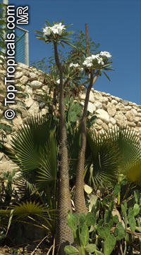 Pachypodium lamerei, Madagascar Palm