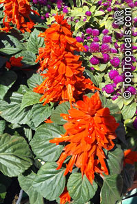 Salvia splendens, Scarlet Sage  Click to see full-size image
