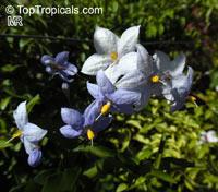Solanum laxum, Solanum jasminoides, White Potato Vine, Jasmine Nightshade  Click to see full-size image