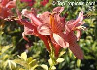 Tecomaria capensis Apricot, Tecoma capensis Apricot, Apricot Tecoma, Cape Honeysuckle  Click to see full-size image