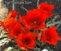 Tulipa sp., TulipClick to see full-size image