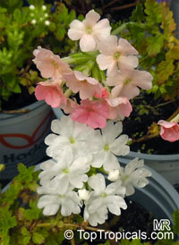 Verbena sp., Verbena  Click to see full-size image