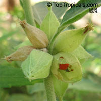 Withania somnifera, Ashwagandha, Indian Ginseng  Click to see full-size image