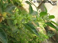 Withania somnifera, Ashwagandha, Indian Ginseng  Click to see full-size image