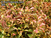 Alternanthera sp., Bloodleaf