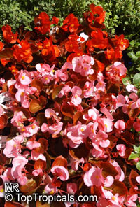 Begonia Semperflorens - cultorum Group, Bedding Begonia, Wax Begonia  Click to see full-size image