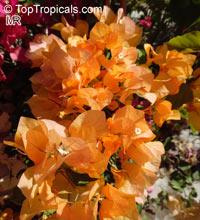 Bougainvillea California gold, Bougainvillea  Click to see full-size image