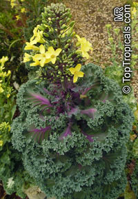 Brassica oleracea Acephala, Kale, Curly-leafed CabbageClick to see full-size image