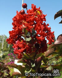 Lagerstroemia indica, Crape Myrtle, Crepe Myrtle