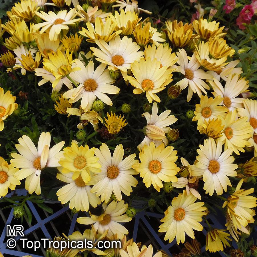 Osteospermum Fruticosum African Daisy Freeway Daisy