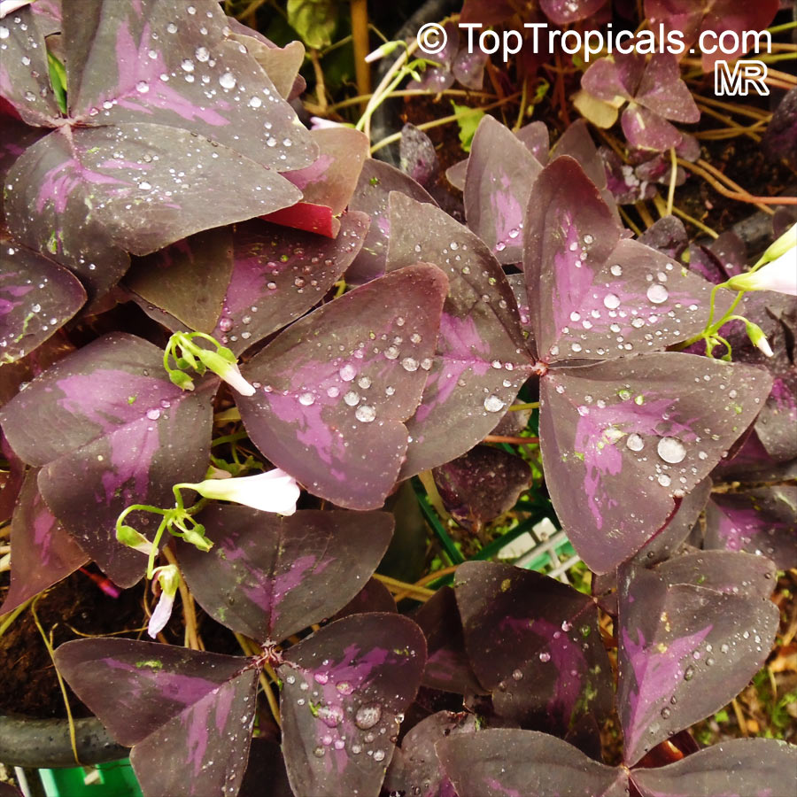 Oxalis Triangularis Oxalis Regnellii Purple Shamrock