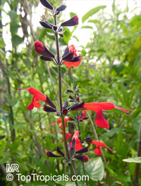 Salvia coccinea, Red Salvia, Tropical Sage  Click to see full-size image