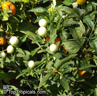 Solanum capsicastrum, False Jerusalem Cherry, Winter Cherry, Christmas Cherry  Click to see full-size image