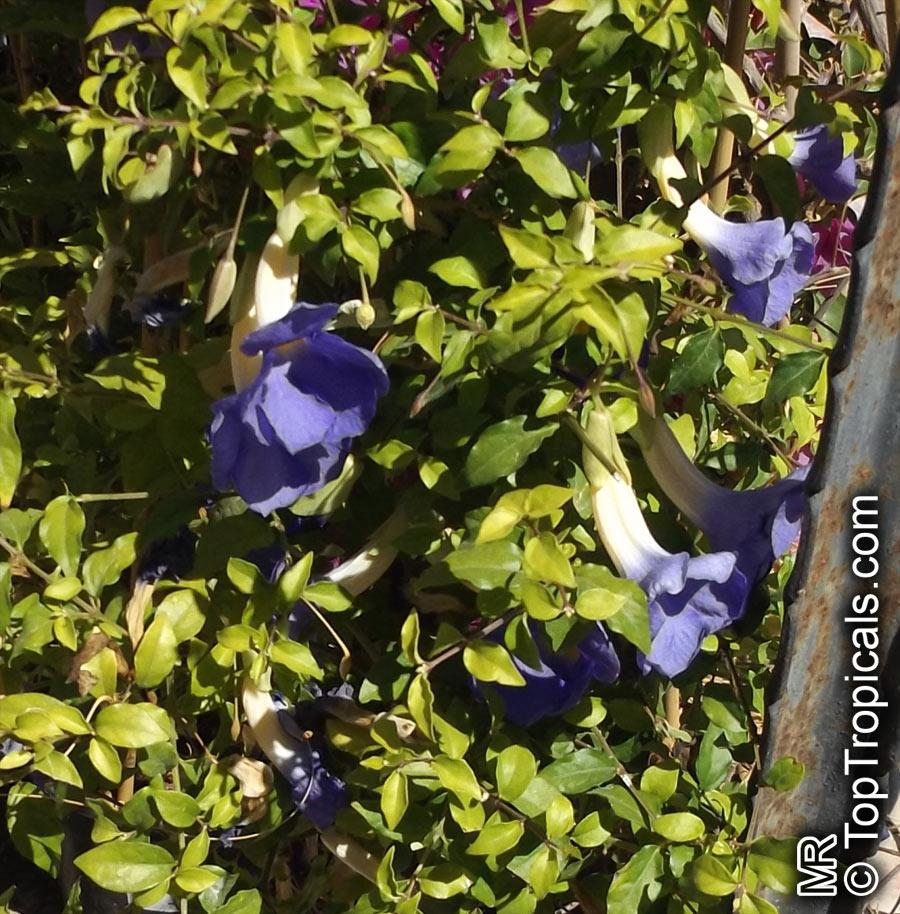 Thunbergia erecta kings mantle bush clock vine toptropicals thunbergia erecta kings mantle bush clock vine click to see full size image izmirmasajfo Images
