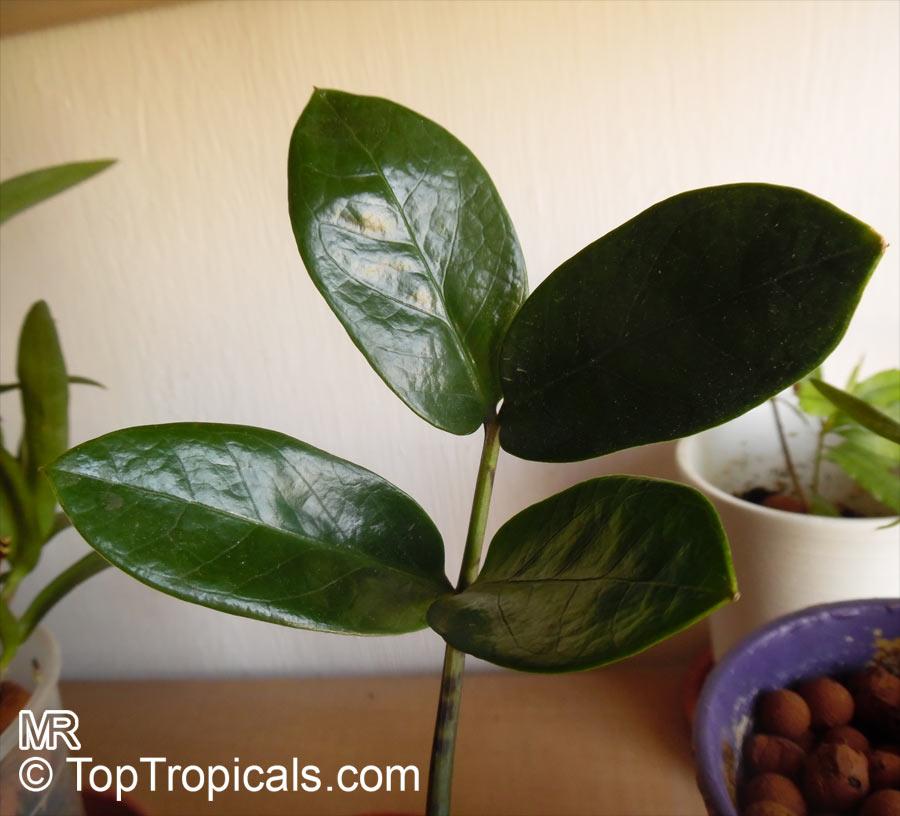 Zz Plant Growth