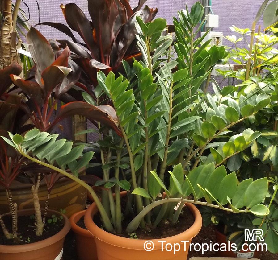zamioculcas_zamiifolia9154 Zamioculcas Houseplant on