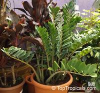 Zamioculcas zamiifolia, Caladium zamiaefolium, Zamioculcas lanceolata, Zamioculcas loddigesii, Aroid Palm, ZZ Plant  Click to see full-size image