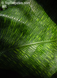 Calathea musaica, Network Calathea  Click to see full-size image