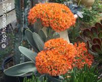 Crassula falcata, Crassula perfoliata var. falcata, Propeller Plant, Scarlet Paintbrush, Airplane Plant  Click to see full-size image