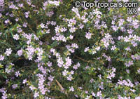 Cuphea hyssopifolia, Mexican False Heather, False Heather, Hawaiian Heather, Elfin Herb