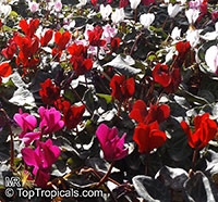 Cyclamen sp., Persian Violet  Click to see full-size image