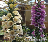 Digitalis purpurea, Purple Foxglove, Lady's Glove  Click to see full-size image