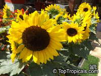 Helianthus annuus, Sunflower