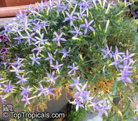 Isotoma axillaris, Rock Isotome, Showy Isotome, Blue Stars, Star Flowers  Click to see full-size image