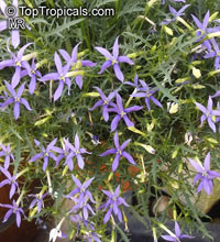 Isotoma axillaris, Rock Isotome, Showy Isotome, Blue Stars, Star FlowersClick to see full-size image